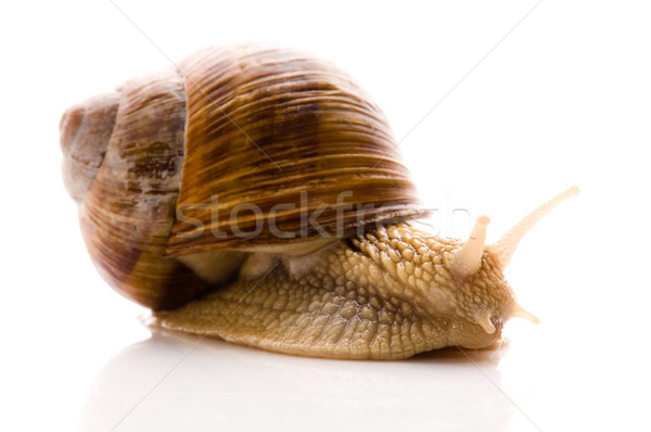 Lumaca animale isolato bianco giardino shell Foto d'archivio © joannawnuk