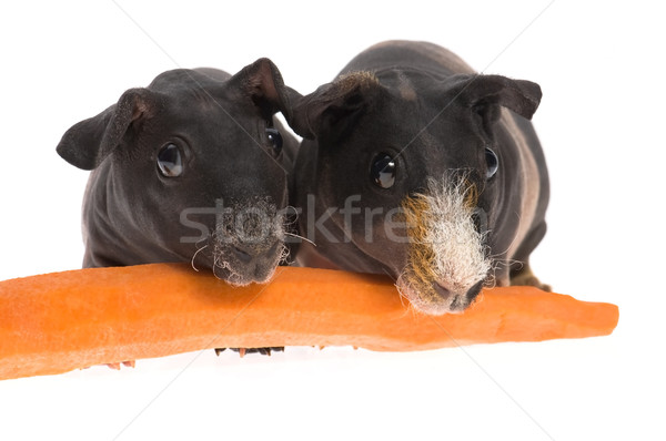 Stok fotoğraf: Gine · domuzlar · havuç · beyaz · hayvan
