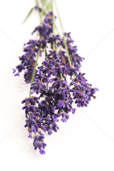 Lavanda flor natureza verão Óleo planta Foto stock © joannawnuk