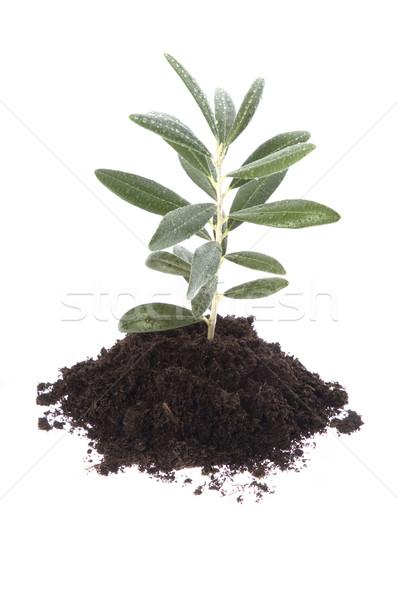 Growing olive in soil Stock photo © joannawnuk