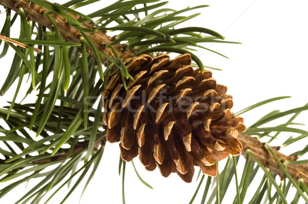 Isolated pine branch with cone Stock photo © joannawnuk