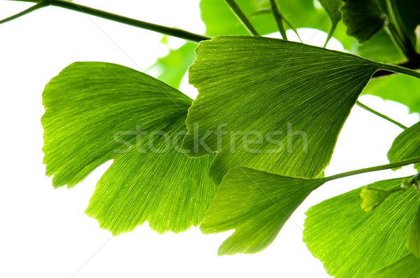 Ginkgo biloba green leaf isolated on white background  Stock photo © joannawnuk
