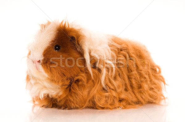 long hair guinea pig Stock photo © joannawnuk