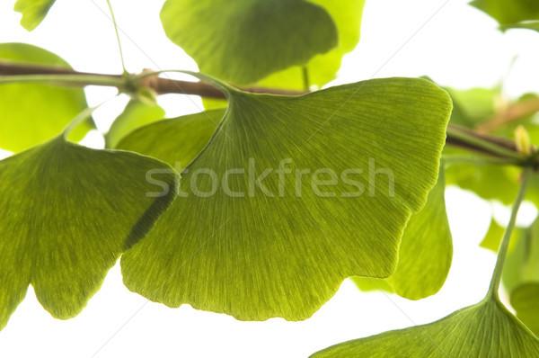 Ginkgo biloba leaf isolated on white Stock photo © joannawnuk