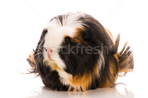 guinea pig isolated on the white background. coronet Stock photo © joannawnuk