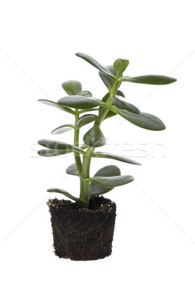 spring plant Stock photo © joannawnuk