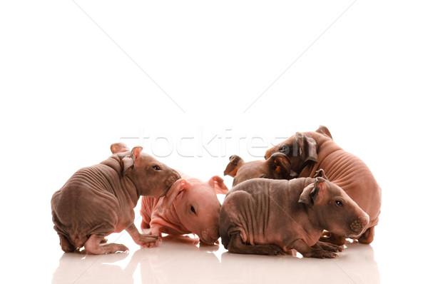 тощий Гвинея свиней белый животного уха Сток-фото © joannawnuk