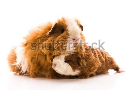 guinea pigs on the white Stock photo © joannawnuk