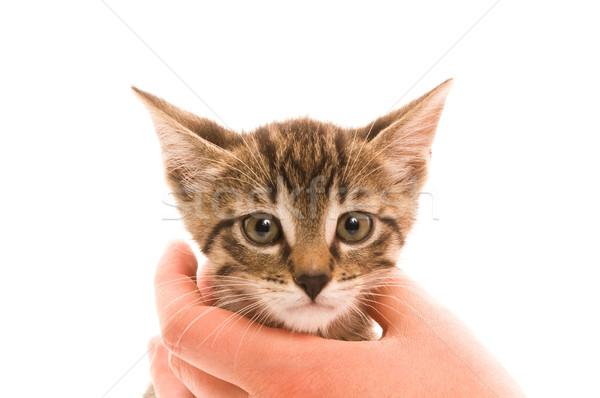 Aanbiddelijk jonge kat hand haren leven Stockfoto © joannawnuk
