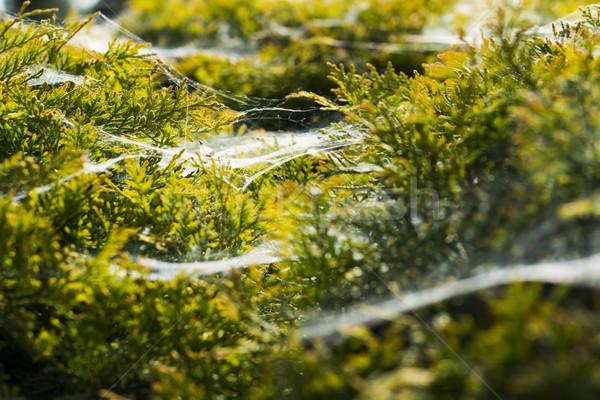 Ochtend spinneweb bloem gras bos abstract Stockfoto © joannawnuk
