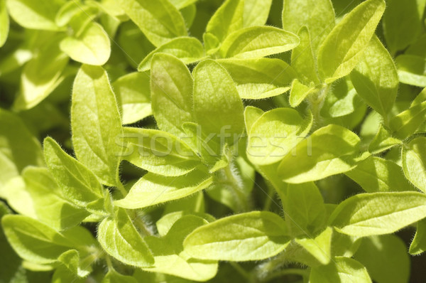fresh herbs. oregano Stock photo © joannawnuk