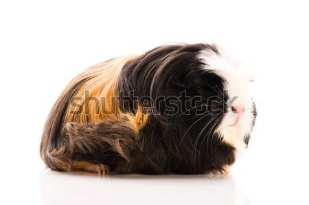 Tengerimalac izolált fehér fekete élet fiatal Stock fotó © joannawnuk