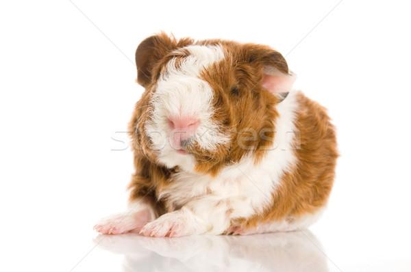 newborn guinea pig. texel Stock photo © joannawnuk