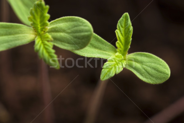 Sprout of hemp cannabis marihuana Stock photo © joannawnuk