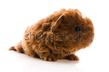 ребенка морская свинка фон свинья смешные молодые Сток-фото © joannawnuk
