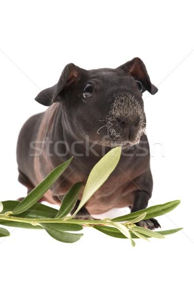 тощий морская свинка оливкового филиала белый лист Сток-фото © joannawnuk