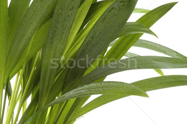 Tropicales laisse blanche eau feuille pluie Photo stock © joannawnuk