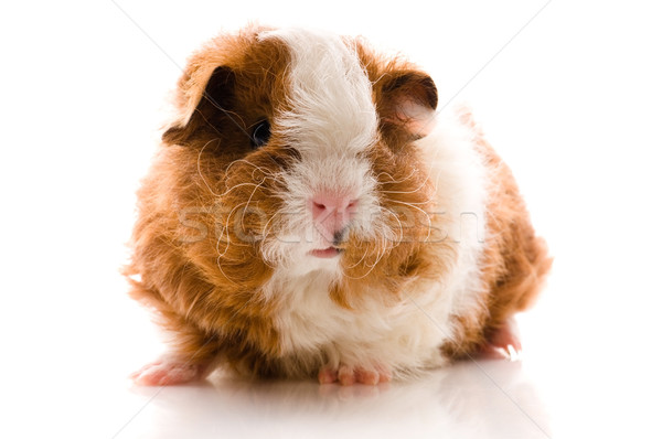 baby guinea pig. texel Stock photo © joannawnuk