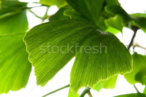 Stock fotó: Zöld · levél · izolált · fehér · levél · háttér · zöld