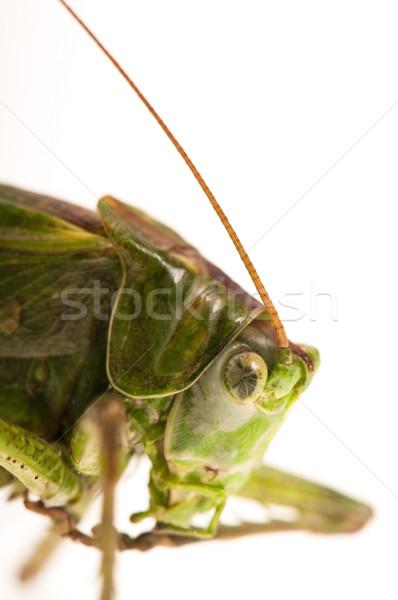 Konik polny biały studio żółty owadów błąd Zdjęcia stock © joannawnuk