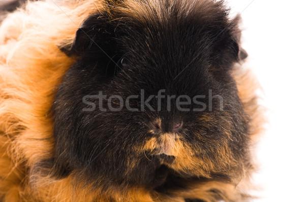 guinea pig isolated on the white background. marino Stock photo © joannawnuk