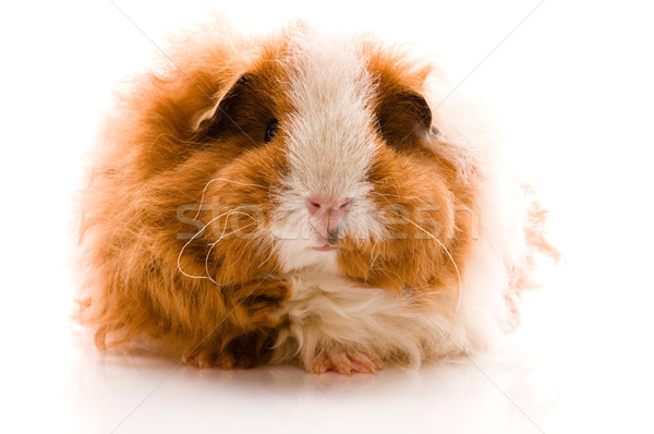 guinea pig isolated on the white background. texel Stock photo © joannawnuk