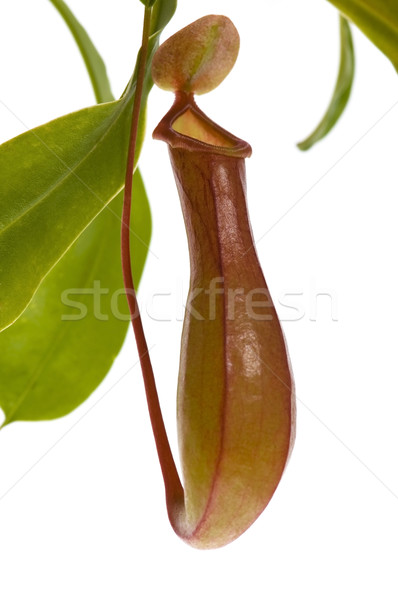 Leaves of carnivorous plant - Nepenthes Stock photo © joannawnuk