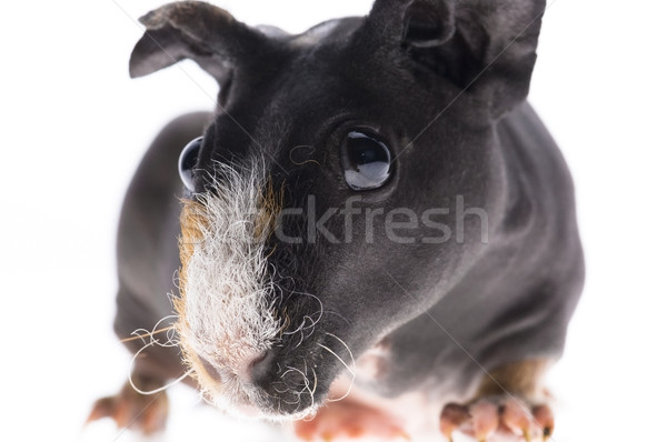 skinny guinea pig on white background Stock photo © joannawnuk
