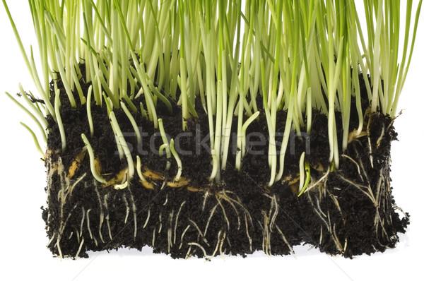 Bebê planta raiz primavera jardim fundo Foto stock © joannawnuk