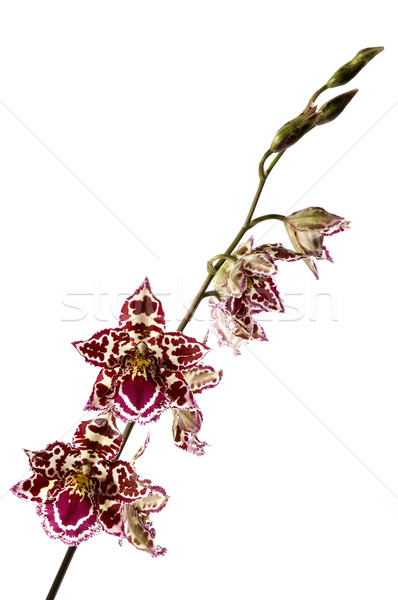 Orquídeas flor primavera madera naturaleza Foto stock © joannawnuk