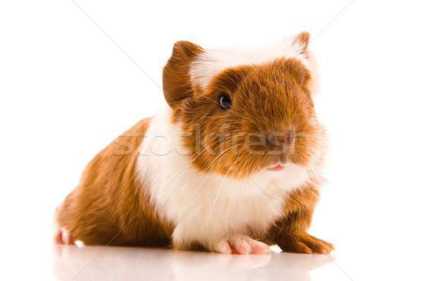 ребенка морская свинка фон красный свинья смешные Сток-фото © joannawnuk