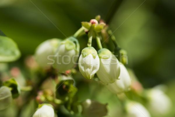 Northern highbush blueberry white flowers and buds Stock photo © joannawnuk