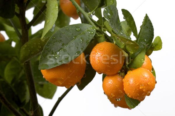 calamondin tree with fruit and leaves. orange fruit Stock photo © joannawnuk