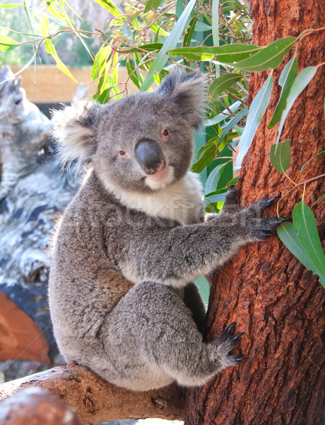 Pretty koala bear  Stock photo © JohnKasawa