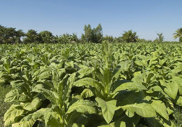 Thaiföld dohány kert farm folyó régió Stock fotó © JohnKasawa