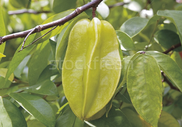 Star apple Thailand tropical seasoning fruit on the tree branche Stock photo © JohnKasawa