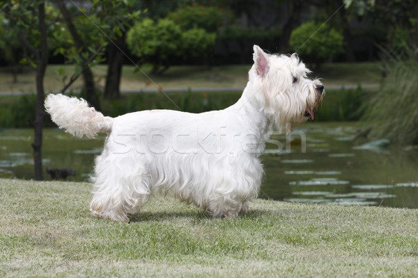 Cute west highland white terrier standing on grass field  Stock photo © JohnKasawa