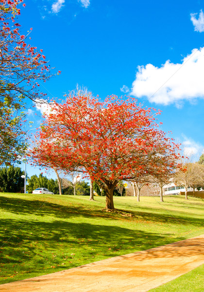 A nice bright sky with cloud day and the red flower tree in Pert Stock photo © JohnKasawa