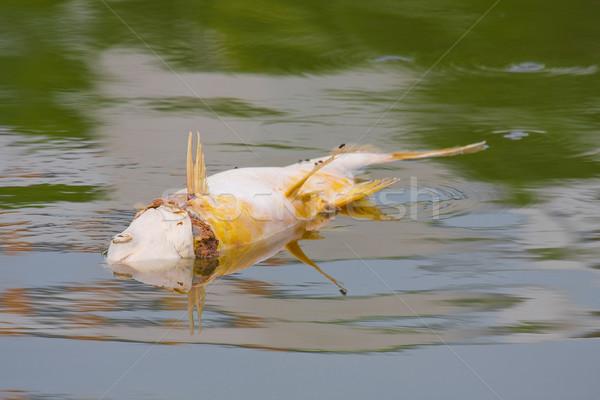 Fisch schwimmend Fluss Sache Wasser Verschmutzung Stock foto © JohnKasawa