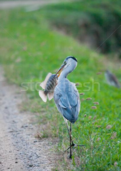 Great heron bird eating fish  Stock photo © JohnKasawa