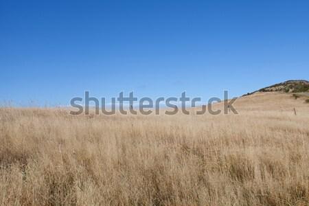Beautiful dried grass field and blue sky in Akaroa South island  Stock photo © JohnKasawa