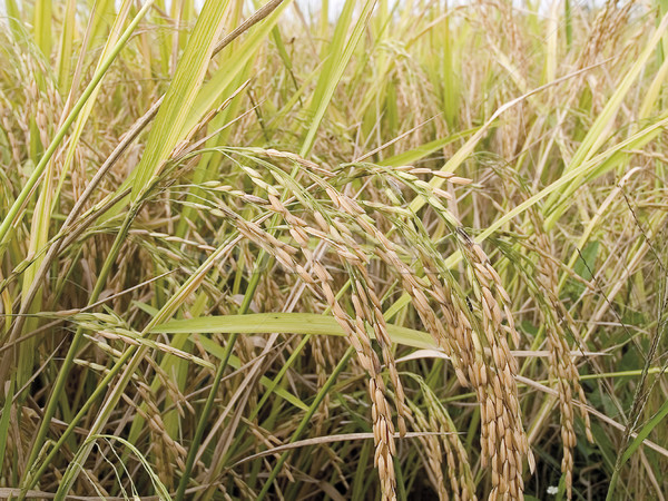 Rice spikes in the rice field ready for harvesting in season  Stock photo © JohnKasawa