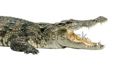 Vadvilág krokodil izolált fehér szem természet Stock fotó © JohnKasawa