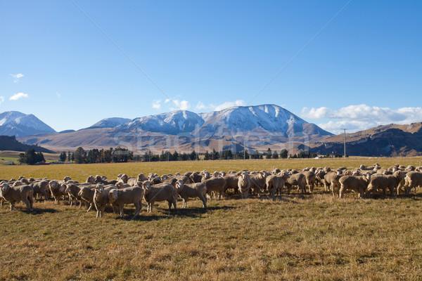 Sheep farmland in Canterbury region Southern Alps Mountain valle Stock photo © JohnKasawa