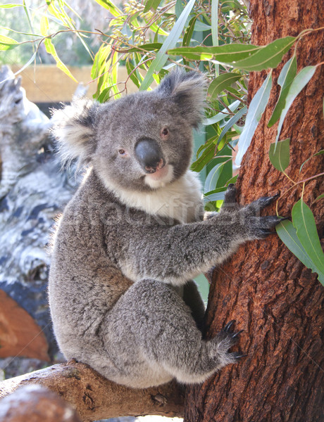 pretty koala bear Stock photo © JohnKasawa