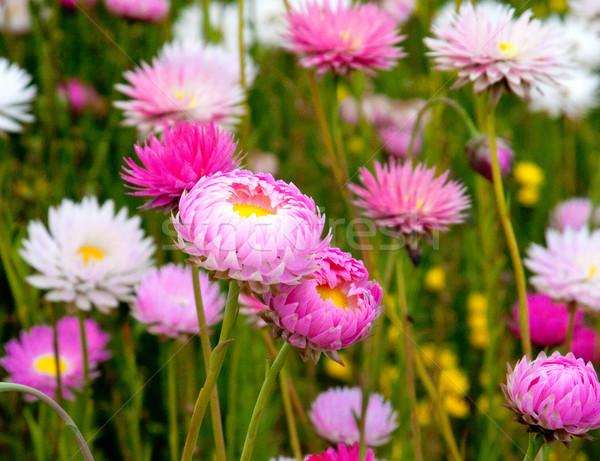 beautiful flowers Stock photo © JohnKasawa