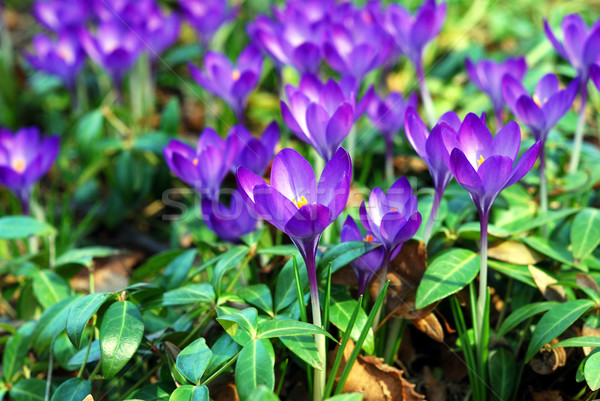 Vivid small purple flowers in a garden during Spring time Stock photo © johnkwan