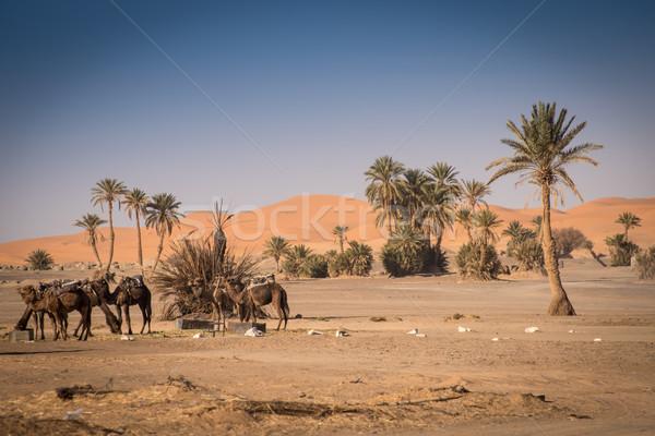 オアシス ラクダ サハラ砂漠 砂漠 カップル 砂 ストックフォト © johnnychaos