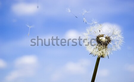 Dandelion over blue sky Stock photo © johnnychaos