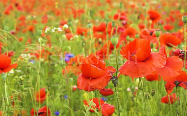 Pipacs mező sok piros virágok tavasz Stock fotó © johnnychaos